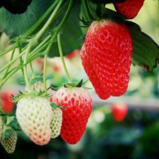 ふじみストロベリー / Fujimi Strawberry